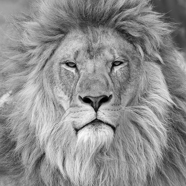 Christophe, le lion d'Idéocom !